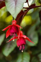 Two fuchsia flowers in a garden