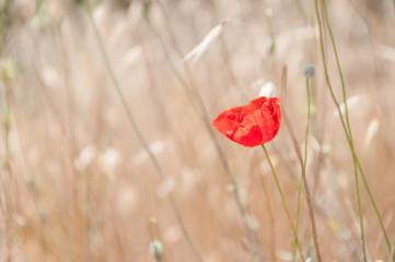 Red poppy flower in the field of oats.