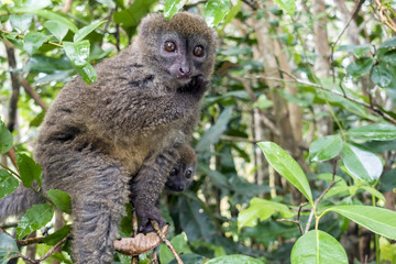 Eastern lesser bamboo lemur (Hapalemur griseus ), Madagascar