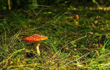 Forest mushrooms in the grass. Gathering mushrooms. Mushroom photo, forest photo, forest mushroom, forest mushroom photo