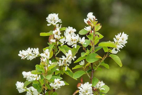 Saskatoon Berry flowering in Spring