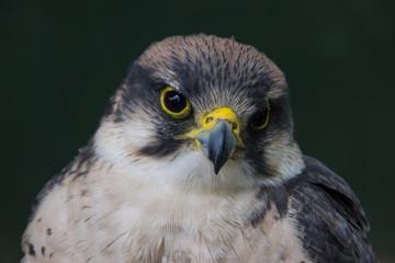 Grey hawk headshot, with head bent on its left side