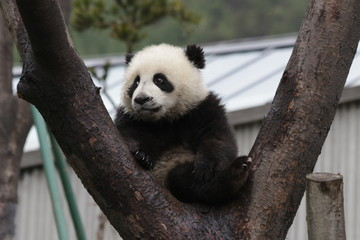 Fotobehang Panda Little Panda Cub on the Tree, China