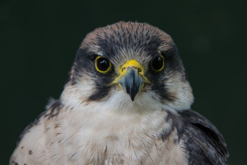 Close up of the grey hawk looking straight