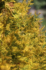 Chamaecyparis or false cypress