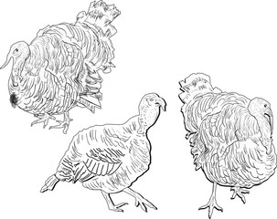 three turkey outlines isolated on white