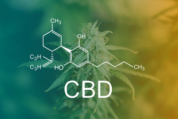 CBD Chemical Formula, before buds harvest indoor grow buds cannabis Macro shot with sugar trichomes. concepts of grow and use of marijuana cbd thc medicinal. Concepts of legalizing herbs weed