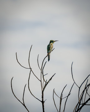 African bee eater sitting on leafless tree looking into distance against cloudy sky, Sine Saloum Delta, Senegal, Africa