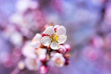 flowering apricot spring flowers / early spring the bright colors of the revival of plants