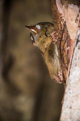 koboldmaki, tarsius tarsier, indonesia, sulawesi