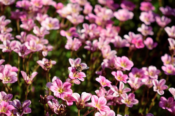 Little pink flowers in a garden on a sunny day. Blooming moss