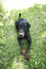 The Dobermann or Doberman Pinscher in the United States and Canada, is a medium-large breed of domestic dog originally developed around 1890 by Karl Friedrich Louis Dobermann, a tax collector.