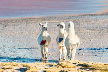 Three young alpacas on Laguna Colorada, Bolivia.