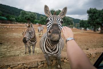 Touching a zebra in Fasano apulia safari zoo Italy