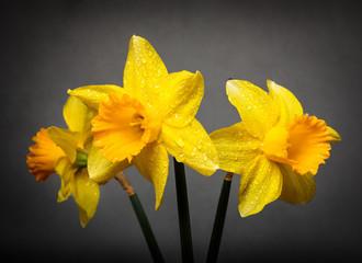 Spring Daffodils in Full Bloom