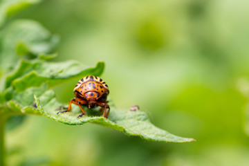 Colorado beetle on potato leaves. Colorado potato beetles (Leptinotarsa decemlineata) also known as the Colorado beetle destroy potato plants and cause huge damage to farms. Selective focus, some blur