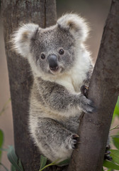 Photo sur Toile Koala Baby koala bear.