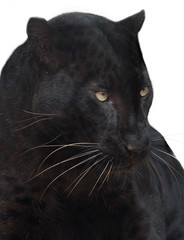 Photo sur Toile Panthère Black panther isolated.