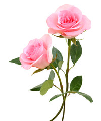 two  beautiful pink rose flowers  isolated on white background