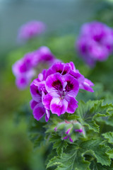 Purple pink flower of Pelargonium Olga Shipston in full bloom grown in a botanic garden