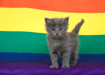 Small grey kitten with blue eyes standing on a Gay Pride flag with flag extending into the background.