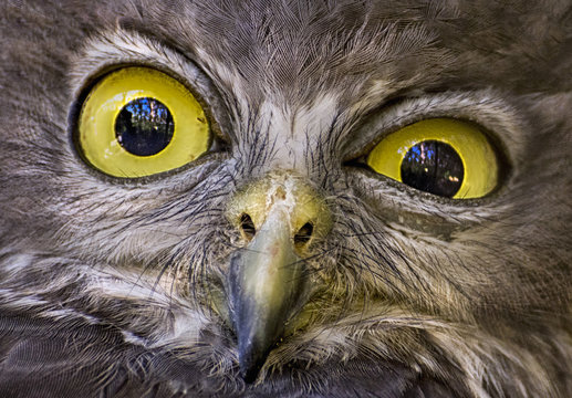 Close-up portrait of a Barking Owl, Western Australia, Australia