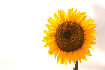 Big, beautiful sunflower against  sky background. Vivid Photo.