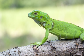 Close up of green iguana on branch