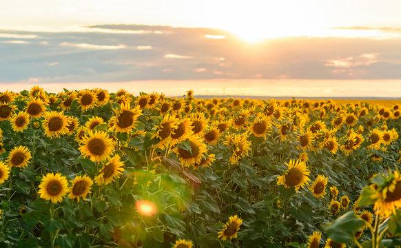 Summer landscape: beauty sunset over sunflowers field. solar flare.