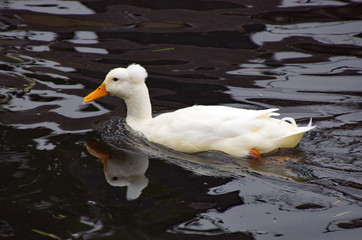 White Crested duck on the River Stort in Sawbridgeworth