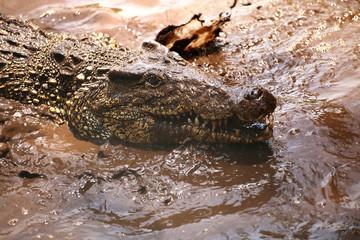 Acrylic Prints Crocodile Kuba-Krokodil