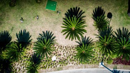Coconut tree in lawn