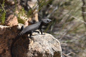 Closeup of a black bearded dragon on the plate clip hiking path on the Table Mountain in Cape Town, South Africa