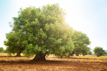 Foto op Aluminium Olijfboom Olive plantation with old olive tree in the Apulia region, Italy