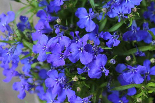 The beautiful sapphire blue flowers of Lobelia erinus, a popular summer bedding plant