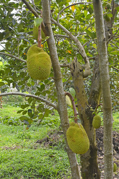 Durian fruit on growing on a tree near Can Tho in Vietnam's Mekong Delta