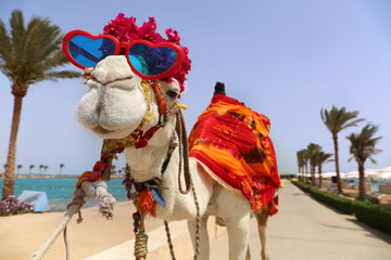 Foto op Canvas Kameel Funny camel with heart shaped sunglasses dressed in costume
