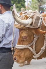 A cow sick eye.