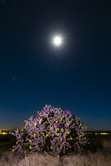 a giant cholla cactus in bloom under a full moon and stars