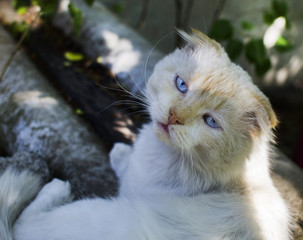 white sleepy cat