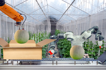 Industrial robot that were apply for agricultural to work packing the cabbage put on cardboard box via conveyor belt, industry 4.0 and smart farm 4.0 technology, concept and idea