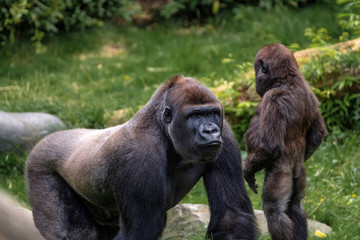 Fototapeten Affe Nasibu the silverback gorilla explains his little step brother the facts of life.