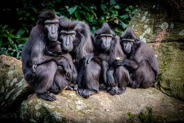 Fotorollo Affe Macaque Family Portrait. The Celebes crested macaque (Macaca nigra), also known as the crested black macaque, Sulawesi crested macaque, or the black ape, is an Old World monkey.