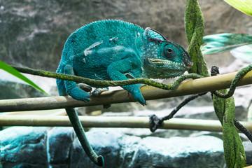Chameleon climbing on a stick