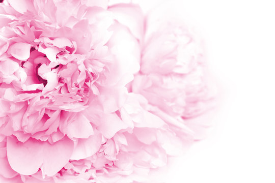 Pink Peony Flowers. Floral background with copyspace.