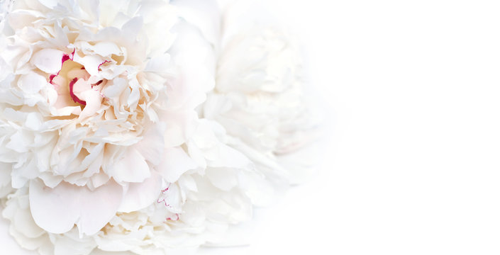 White Peony Flowers. Floral background with space for text. Greeting Card.