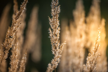Grass, Spikelets,  Sun, Abstraction. Beauty in nature.