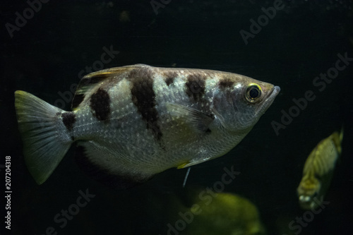 White With Black Stripes Sea Fish In Aquarium Close Up Stock Photo