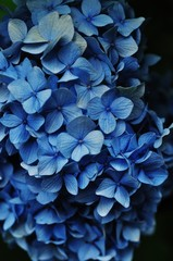 Close-up view of blue hydrangea flowers