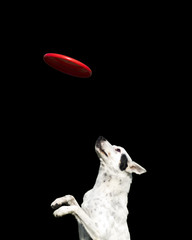 dog catching a red frisbee isolated on a black background